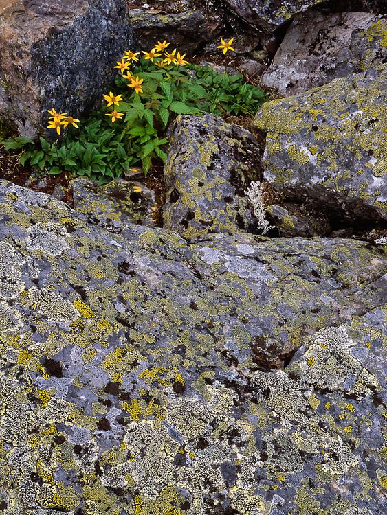Arnica wildflowers, summer, Yoho National Park, British Columbia, Canada