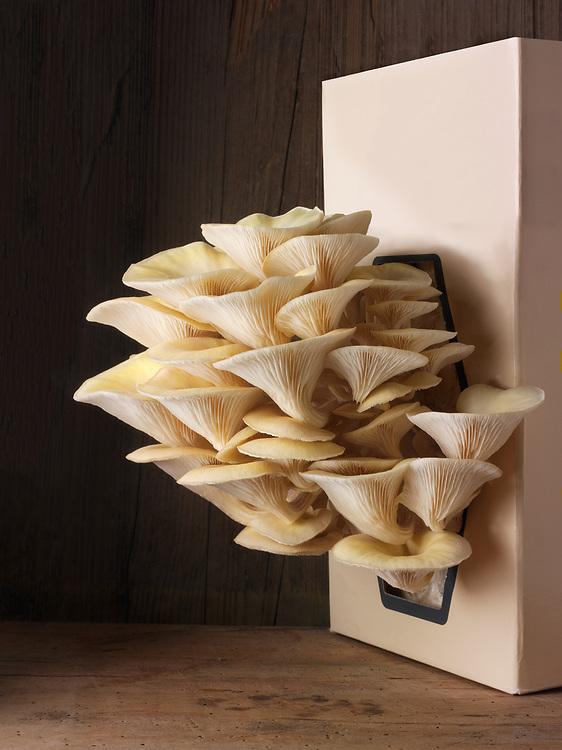 Fresh picked edible yellow or golden oyster mushrooms (Pleurotus citrinopileatus) in a grow box