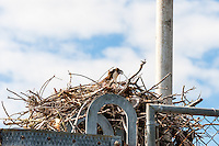 US, Florida, Everglades. Osprey nest in Flamingo.