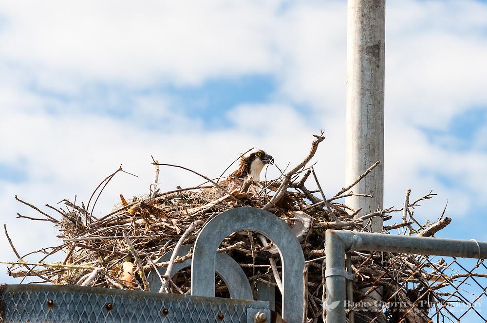 US, Florida, Everglades. Osprey nest in Flamingo.