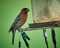 House Finch. Image taken with a Nikon D5 camera and 600 mm f/4 VR lens (ISO 720, 600 mm, f/5.6, 1/1250 sec).
