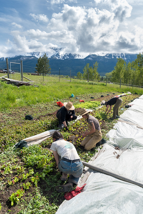 Women weeding a bed of salad greens on a farm in Oregon's Wallowa Valley.