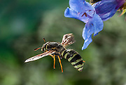A pollen wasp (Pseudomasaris vespoides) with Lemhi Penstemon (Penstemon lemhiensis) flowers. Evidence suggests that the wasp co-evolved with the penstemon to pollinate the plant. Photographed via permit at Big Hole National Battlefield, Montana.