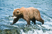 Bear walking off Brooks River with Salmon in mouth.