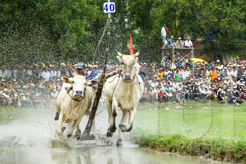 Competitors race in the annual Bay Nui bull races during the Khmer Sene Dolta Festival, Tri Ton, An Giang Province, Vietnam, Southeast Asia