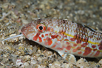 Striped Red Mullet (Mullus surmuletus) probing for food with its barbels, at night<br /> France: Corsica, Lavezzi Islands, Elephant Bay