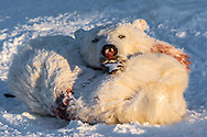 Hunting polar bear is very common here in Nunavik. Sometime, the bear come to close to the town.