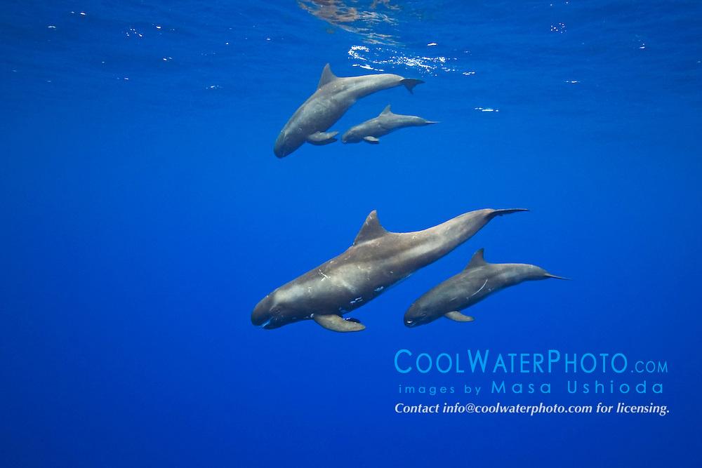 two pairs of pygmy killer whale mother and calf, Feresa attenuata, Kona Coast, Big Island, Hawaii, Pacific Ocean