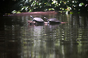 Ecuador, May 13 2010: Two turtles sit on a branch in the river in the Cuyebeno Reserve. Copyright 2010 Peter Horrell
