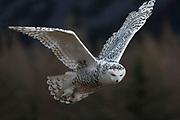 Adult female snow owl (Nyctea scandica) in flight