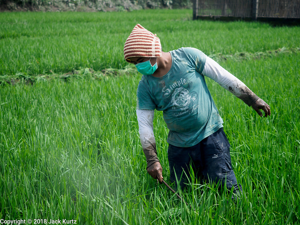 30 JANUARY 2018 - GUINOBATAN, ALBAY, PHILIPPINES: A farmworker in Guinobatan knocks volcanis ash off plants in a rice field during an ash fall from the Mayon volcano.  The volcano continued to erupt but not as dramatically as it did last week. The small eruptions are still sending ash clouds over communities west of the volcano and the government is encouraging people to stay indoors, wear face masks and avoid strenuous activities when ash is falling.     PHOTO BY JACK KURTZ