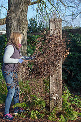 Pruning a Group 3 Clematis down to 30cm in late winter before growth starts