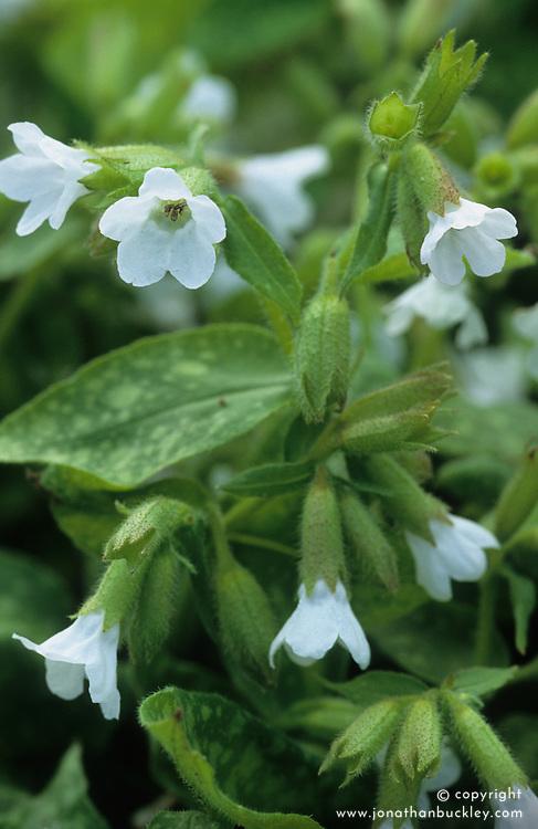 Pulmonaria saccharata 'Sissinghurst White' syn Pulmonaria officinalis 'Sissinghurst White' - lungwort