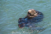 California sea otter or southern sea otter, Enhydra lutris nereis ( threatened species ), grooming, Elkhorn Slough, Moss Landing, California, United States ( Eastern Pacific )
