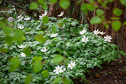 Anemone nemorosa - Wood anemone - growing at the base of a redwood tree.