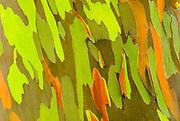 Rainbow Eucalyptus bark (Eucalyptus deglupta - Mindanao Gum), Island of Kauai, Hawaii