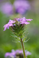 Dakota vervain wildflowers, Texas Hill Country (between Blanco and Fredericksburg), Texas, USA..