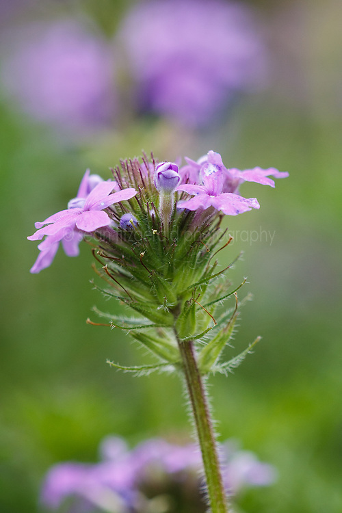 Dakota vervain wildflowers, Texas Hill Country (between Blanco and Fredericksburg), Texas, USA..