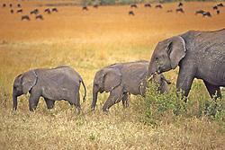 Elephant With Sub Adults