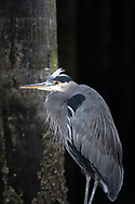 A Great Blue Heron (Ardea herodias) sitting on the dock beneath the boardwalk at Granville Island in British Columbia, Canada.