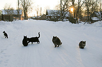27.01.2013 wies Pierozki woj podlaskie N/z koty fot Barbara Sojko / AGENCJA WSCHOD