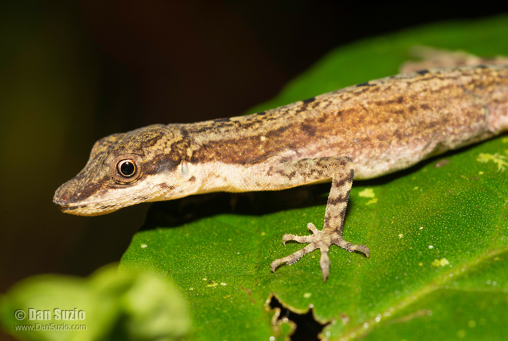 Slender Anole, Anolis limifrons (Norops limifrons), on a leaf near Arenal Volcano National Park, La Fortuna, Costa Rica