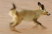 Bat-eared fox (Otocyon megalotis) | Löffelhunde (Otocyon megalotis) sind sehr gesellige und verspielte Tiere. Nachdem die heißesten Stunden des Tages verschlafen wurden beginnt für sie in den frühen Abendstunden wieder eine aktive Phase. Noch bevor die Familie zum Jagdausflug aufbricht, werden mit Sozialverhalten und Spiel die Beziehungen zwischen den Gruppenmitgliedern gefestigt.