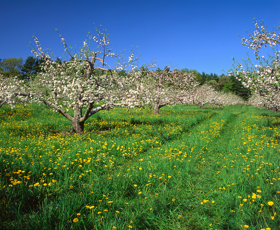 Apple orchard in bloom in spring, with dandelions & tire tracks, Londonderry, NH