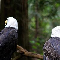 A Pair of Bald Eagles in the Northwest Trek Wildlife park scanning the scene.