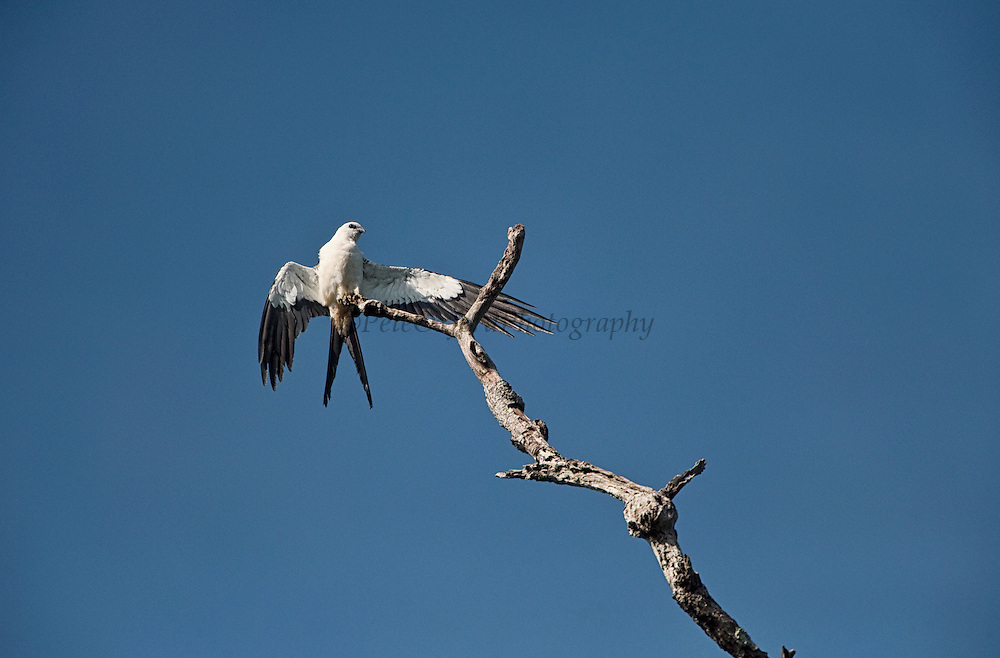 Swallow-tailed Kite (Elanoides forficatus)<br /> Surama<br /> Rainforest<br /> GUYANA. South America<br /> RANGE: Southeastern United States to eastern Peru and northern Argentina.