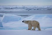 A polar bear (Ursus maritimus) hunting on sea ice, Spitsbergen, Svalbard, Norway