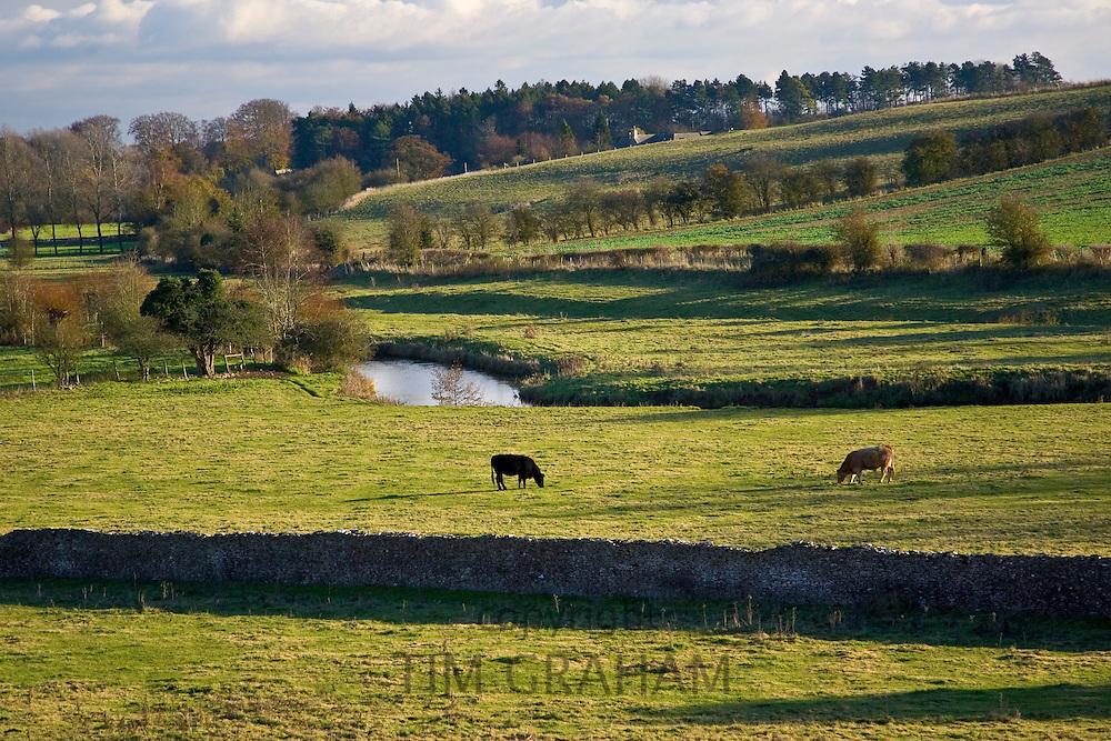Cows graze by River Windrush, Swinbrook, Oxfordshire,  UK