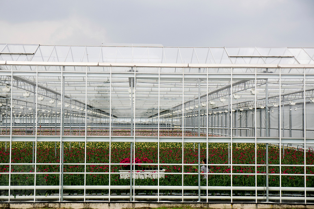 In Bleiswijk werkt een vrouw in een van de vele bloemenkassen.<br /> <br /> In Bleiswijk a woman works in one of the many greenhouses for flowers.