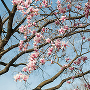 Pink Tulip Magnolias in bloom in Washington DC near the Tidal Basin. These trees are some of the many flowering trees in and around the National Mall that flower in the spring.