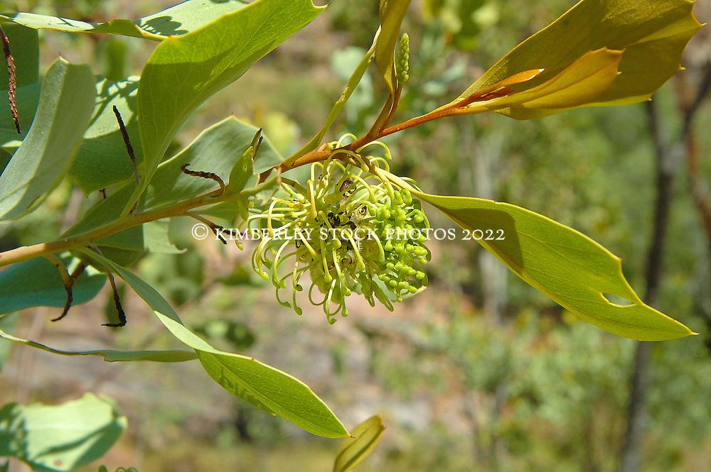 A grevillea flowers on a rocky hillside at Shoal Bay on the Kimberley coast.