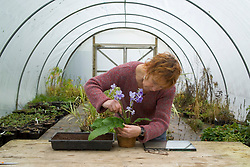 Carol Klein taking leaf cuttings from streptocarpus<br /> Carol removing leaf