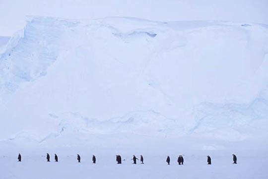 Emperor Penguin, (Aptenodytes forsteri) Adults at Riiser Larsen ice shelf. Antarctica.