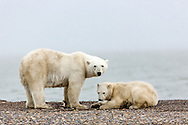 Mother polar bear (Ursus maritimus) and cub foraging on spit on Barter Island near Kaktovik in the Arctic National Wildlife Refuge in the Far North of Alaska. Autumn. Morning.