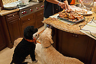 Three dogs - a mini doodle, a Portuguese water dog and a goldendoodle -- eagerly watch a man carve leftover turkey in a home kitchen at Thanksgiving. WATERMARKS WILL NOT APPEAR ON PRINTS OR LICENSED IMAGES.