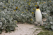 King Penguin (Aptenodytes p. patagonica).<br /> Volunteer Point, Johnson's Harbour, East Falkland Island. FALKLAND ISLANDS.<br /> RANGE: Circumpolar, breeding on Subantarctic Islands. Extensive colonies found in South Georgia, Marion, Crozet, Kerguelen and Macquarie Islands. The Falklands represent its most northerly range. They are highly gregarious which probably accounts for it common association with colonies of Gentoo Penguins.<br /> King Penguins are the largest and most colourful penguins found in the Falklands. They have a unique breeding cycle. The incubation of one egg lasts for 54-55 days and chick rearing 11-12 months. As the complete cycle takes more than one year a pair will generally only breed twice in three years.
