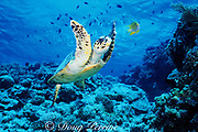 hawksbill sea turtle, Eretmochelys imbricata, Critically Endangered Species, Layang Layang Atoll, Sabah, Malaysia, off Borneo ( South China Sea / Western Pacific Ocean )