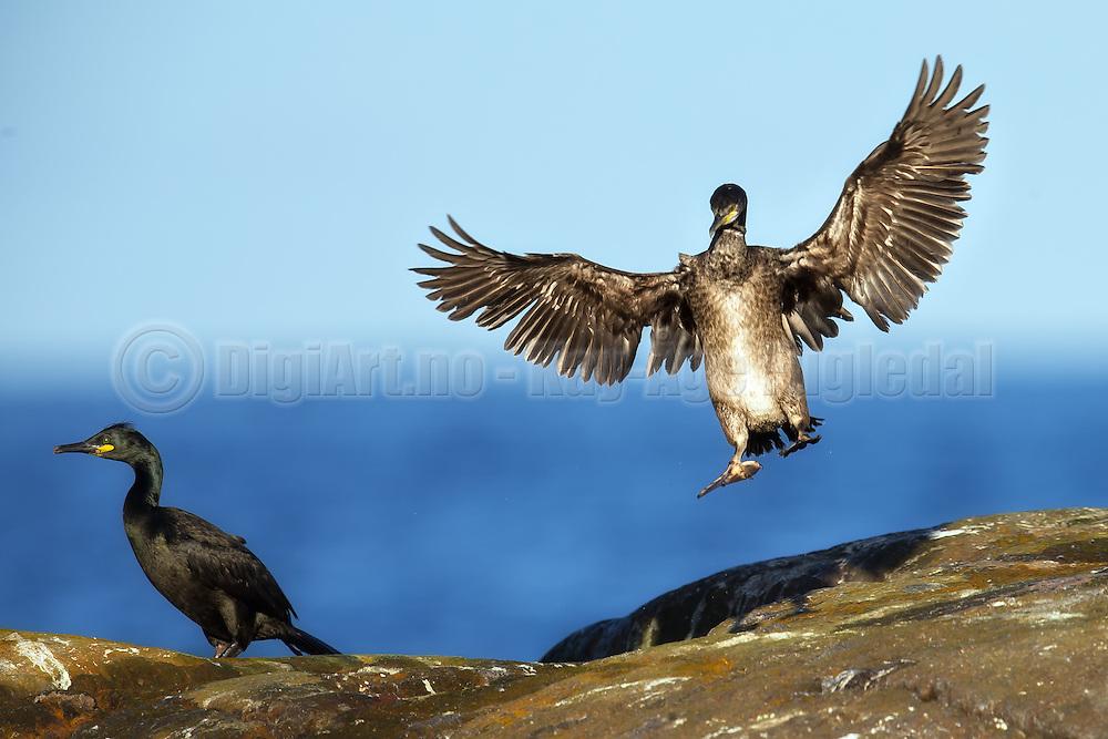Cormorate in for landing | Skarv inn for landing