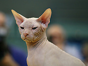 Pedigree Cat - White Sphynx Hairless cat also known as Canadian Hairless