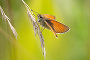 Small Skipper Butterfly, Thymelicus sylvestris, Poienile Narcise Brasov, Transylvania, Romania,resting on grass seed, orange