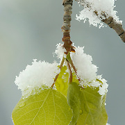 Aspen leaves on a snow-covered tree during the winter. Montana