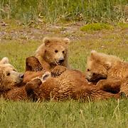 Alaskan Brown Bear (Ursus middendorffi) Mother nursing cubs. Katmai National Park. Alaska. ..00470  Alaskan Brown Bear (Ursus middendorffi) Mother nursing cubs. Katmai National Park. Alaska. ..Alaskan Brown Bear (Ursus middendorffi) Mother nursing cubs. Katmai National Park. Alaska. ..00470  Alaskan Brown Bear (Ursus middendorffi) Mother nursing cubs. Katmai National Park. Alaska.