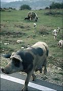 frittgående gris (med villsvin), Barbagia, Sardinia..dias Sardinia, Italia.