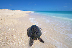 A Green turtle (Chelonia mydas) lies on the beach at the Lacepede Islands, north of Broome, Western Australia.