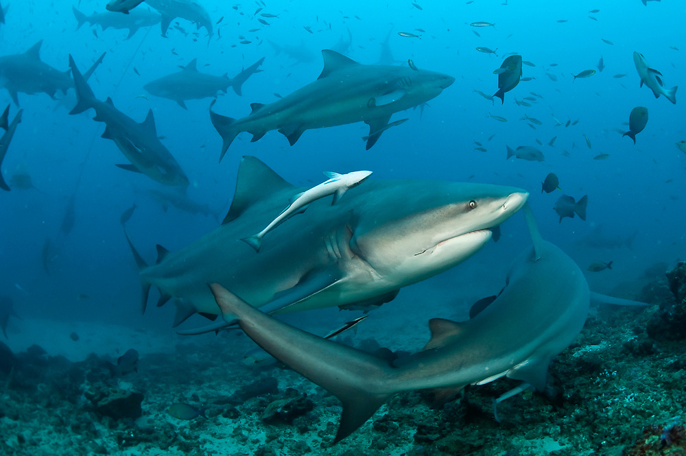 Bull Sharks, Carcharhinus leucas, gather during a shark dive at Shark Reef Marine Reserve offshore Pacific Harbor, Viti Levu, Fiji. Image available as a premium quality aluminum print ready to hang.