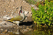 Green Woodpecker (Picus viridis) male standing at water's edge, swallowing water after drinking, Oxfordshire, uk.